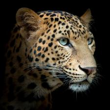 """Кухонный экран из стекла 600х600х4мм """"Леопард"""""""